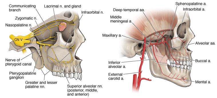 phenopalatine ganglion & maxillary artery - The Headache Clinic